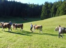 Ochsenrennen Wallgau. Erstes Training am 20.07.2016