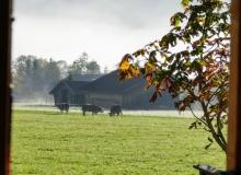 Kühe Badfenster