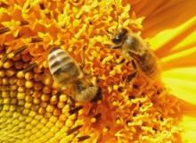 Sonnenblume-Bienen_2