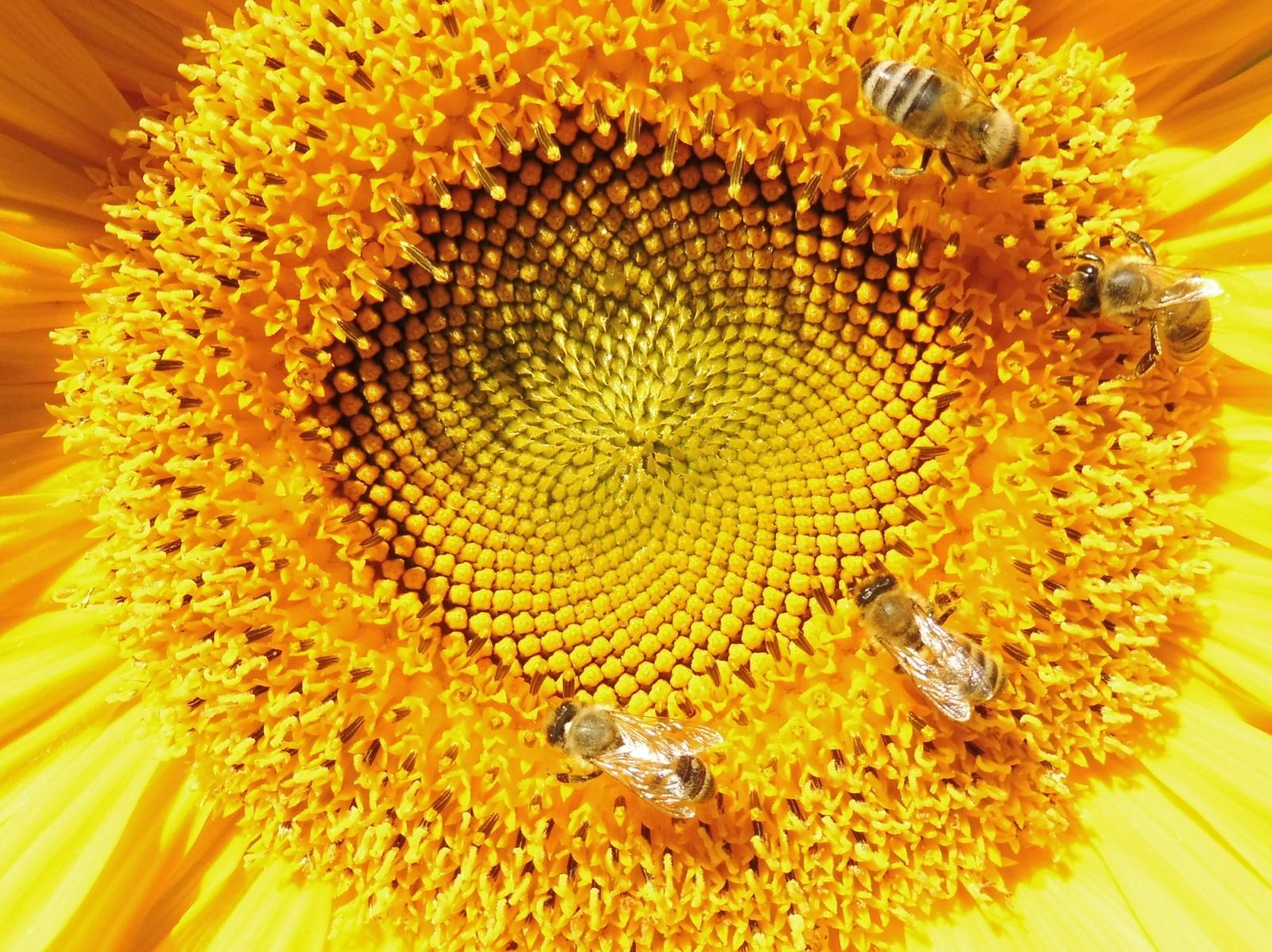 Sonnenblumen in Wallgau