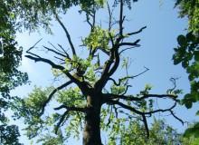 Dürre Baumkrone aus dem Wald um Wallgau