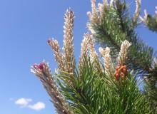 Kiefernblüte