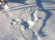 Archaeopteryx im Schnee 85 cm Spannweite