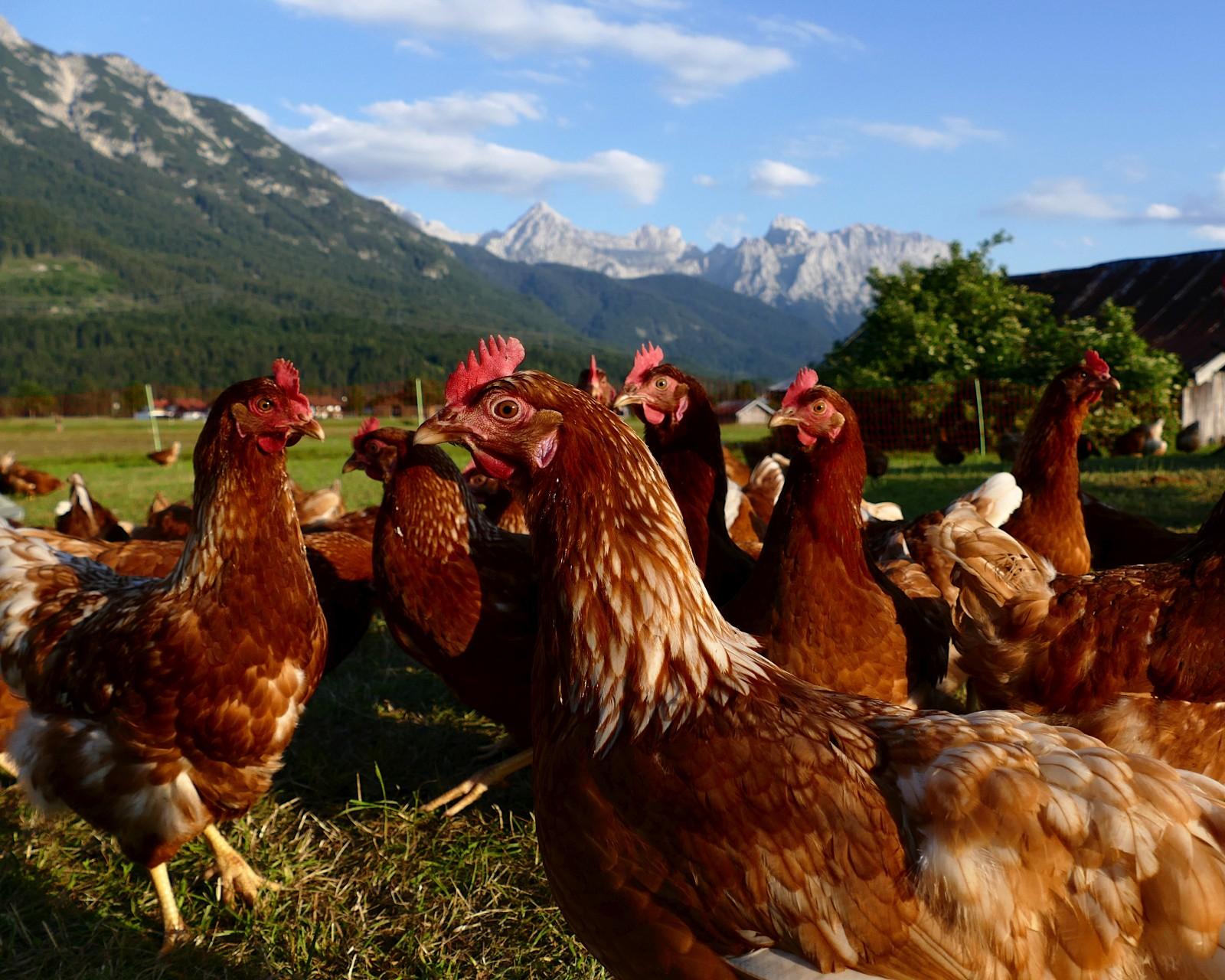 Glückliche Hühner in der Abendsonne. Happy chickens in the evening sun.