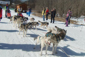 Bild Hundeschlittenrennen in Wallgau 2015