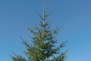 Christbaum Wallgau